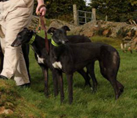 2 Black Greyhounds
