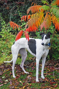 Lena - white and black Greyhound