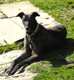 Dark Brindle Greyhound