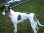 White & brindle Greyhound