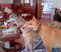 Brindle and Fawn Greyhounds