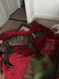 Tommy - Brindle Greyhound