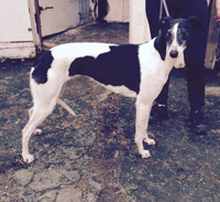 Alamo - white & black greyhound