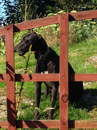 Ebony - Black Greyhound