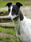Lily - White & Black Greyhound