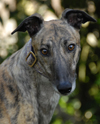 Flyn - Brindle Greyhound