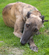 Ivy - Brindle Greyhound