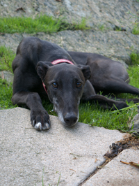 Jewel - Black Greyhound