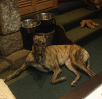 Katie - brindle greyhound