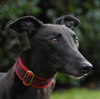 Basil - Black Greyhound