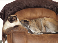 Shepherd -Brindle greyhound with cat