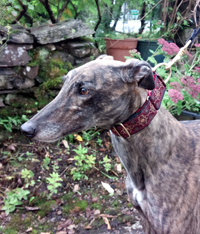 Molly - Brindle Greyhound