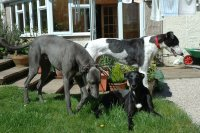 Three Greyhounds in the garden