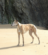 Bobby - brindle Greyhound