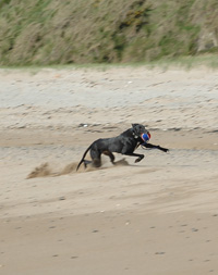 Indi - Greyhound playing