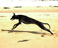 Indi - Black Greyhound on beach