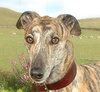 Brindle Greyhound