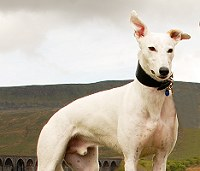 White Greyhound