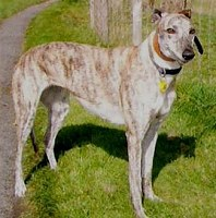 Brindle Greyhound bitch