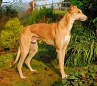 Max is a red Greyhound