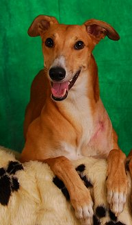 Red Greyhound