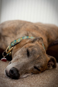 Blue brindle greyhound asleep