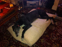 Black Greyhound asleep