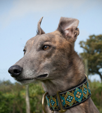 Eddie - brindle greyhound