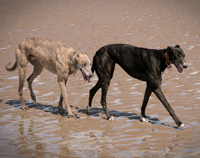 Eddie & Nuala - greyhounds on beach