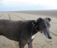 Mac - blue greyhound on beach