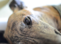 Merlin - Brindle Greyhound