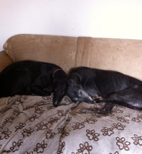 Black greyhounds