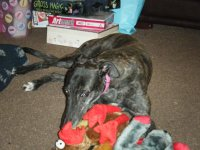 Greyhound opening Christmas presents