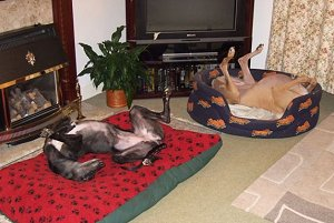 Two happy Greyhounds asleep