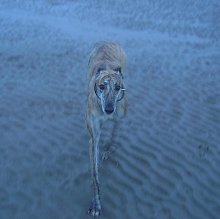 Brindle Greyhound on beach