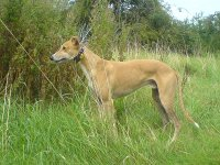 Fawn Greyhound in long grass