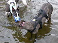 Greyhounds playing in river