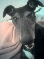 Black Greyhound face