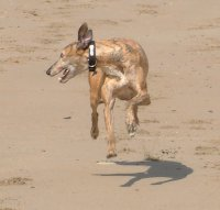 Greyhound running on the beach