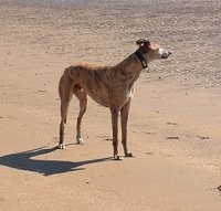 Greyhound on Duncannon Beach