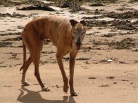 Brindle Greyhound on the beach