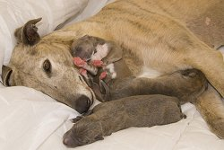 Greyhound with her pups