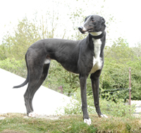 Harvey - Black and white greyhound
