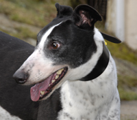 Tam - Black and white greyhound