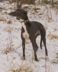 Black and white greyhound