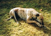 Brindle Greyhound chewing a bone