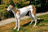 Breeze is a white and brindle greyhound