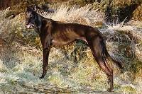 Indi - black Greyhound