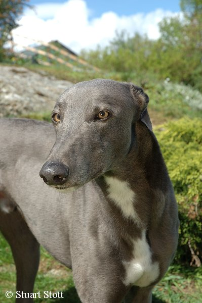 Ex Racing Blue Greyhounds Make Lovely Gentle Family Pets