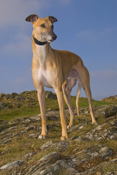 Fawn Rescued Ex Racing Greyhounds Like Sandy Make Lovely